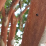 Looks a lot like the twice-stabbed lady beetle, Chilocorus stigma, a beneficial predatory insect!