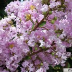 Although many trees were infested, the blooms were still gorgeous.